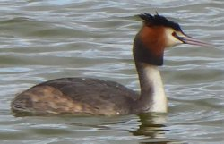 crested_grebe
