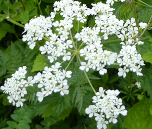 cow_parsley_flower