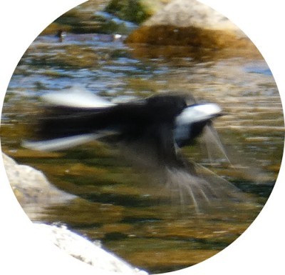 pied_flying