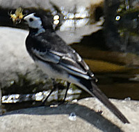 pied_wagtail-with_insect