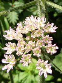 wild_angelica_flower