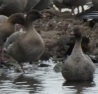 geese-pink-footed