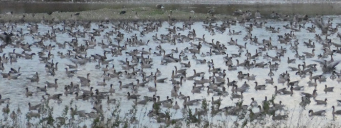 geese-pink-footeds-greylags