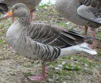 goose-greylag