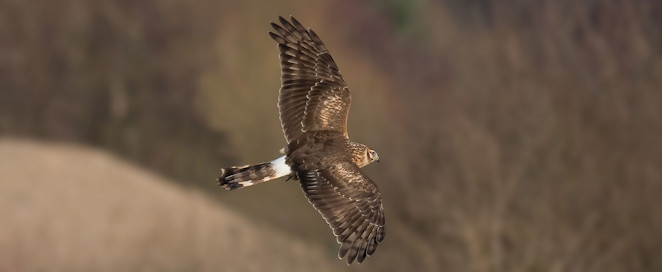 hen_harrier