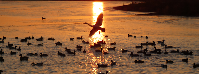 whooper-swan-landing