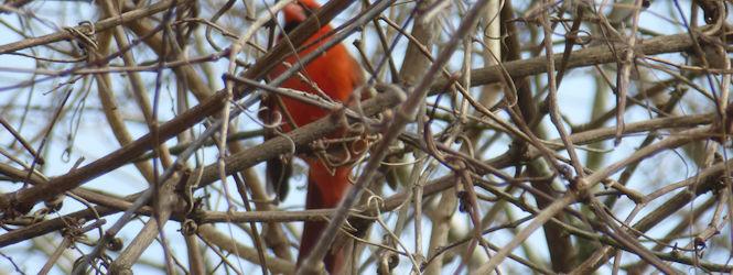 cardinal-in-bush