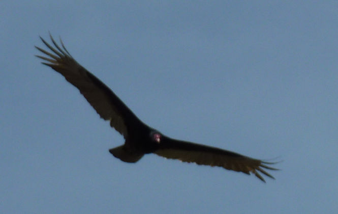 turkey_vulture_in_flight