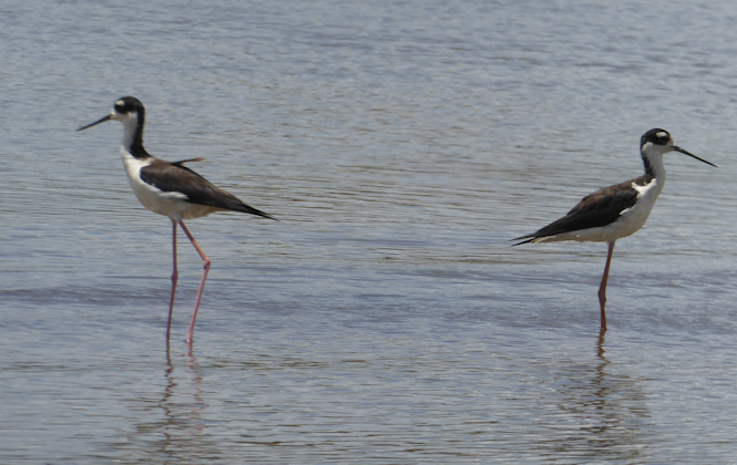 black_necked_stilt_pair