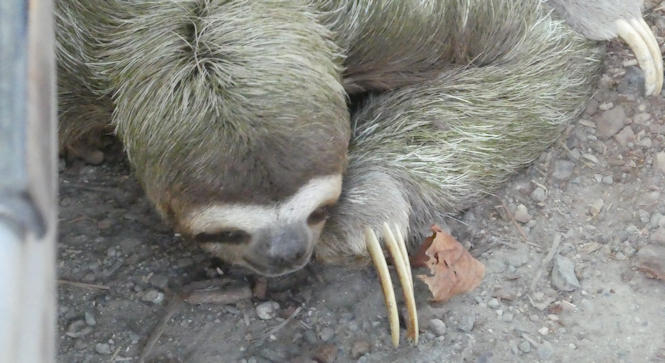 sloth_crossing_road