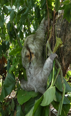 sloth_on_tree