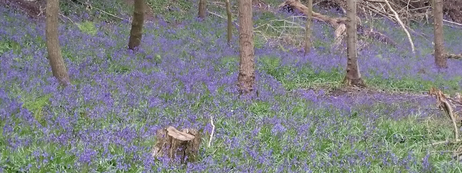 bluebells_dog_wood_feature