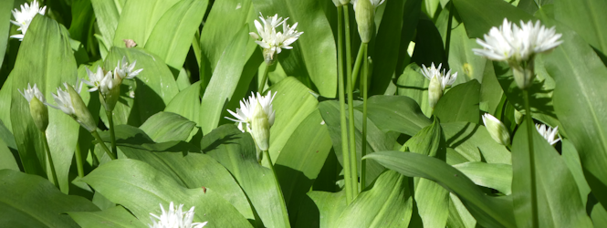 wild_garlic_anderton