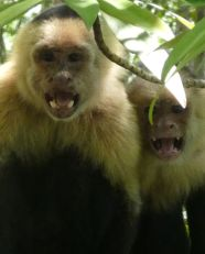 white faced monkey warning