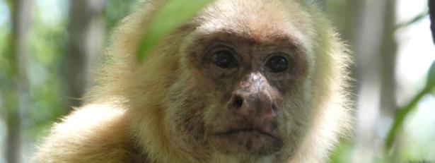 white faced monkey wisdom