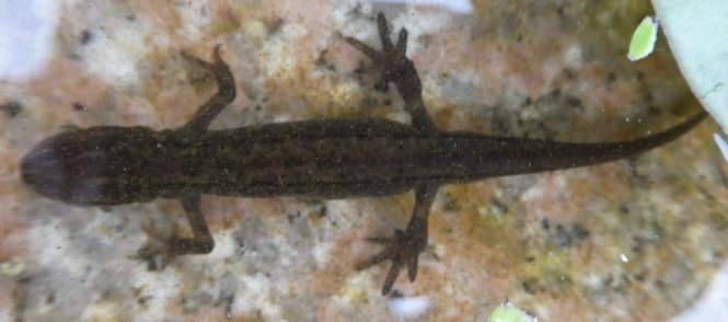 newt in birdbath