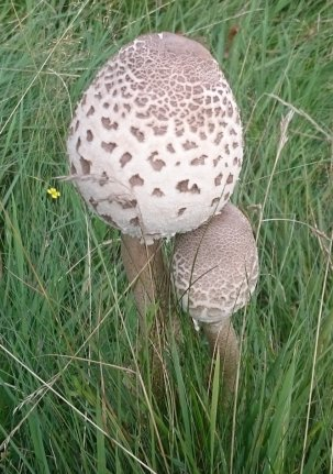 parasol mushroom 1