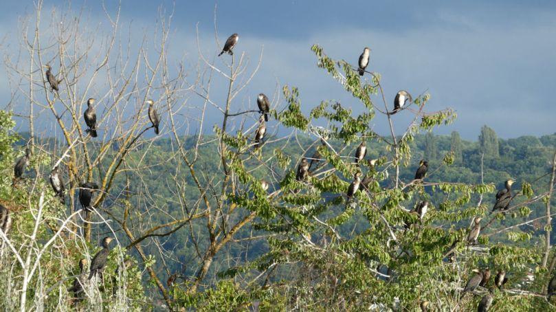 cormorants dranse.JPG