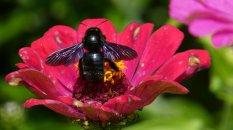 carpenter bee 1