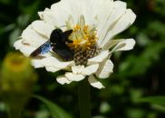 carpenter bee 3