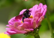 carpenter bee 4