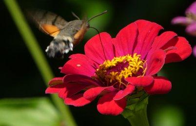 hummingbird hawkmoth 2