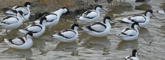 avocet group