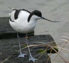 avocet single