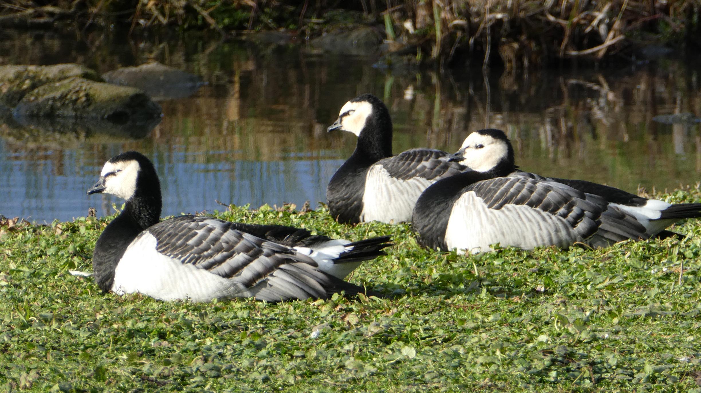 svalbard geese