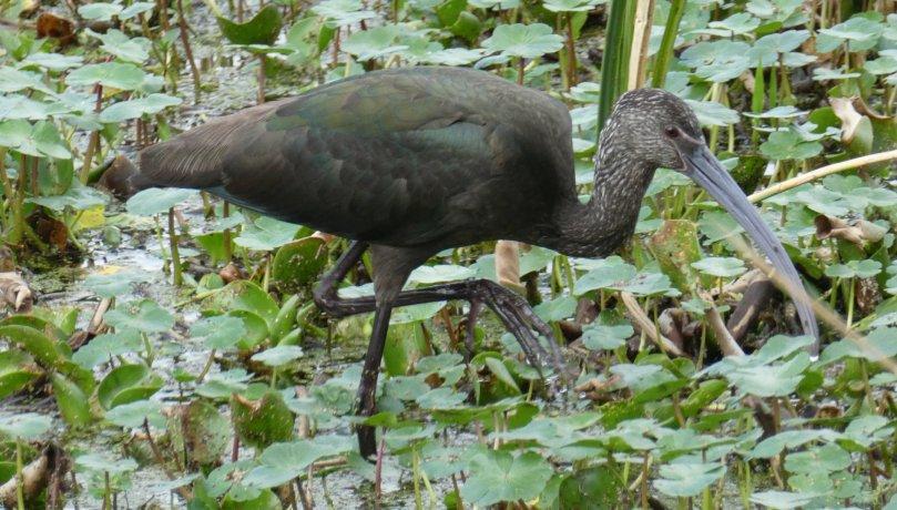 green ibis 2