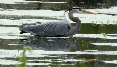 great blue heron2