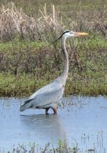 great blue heron3