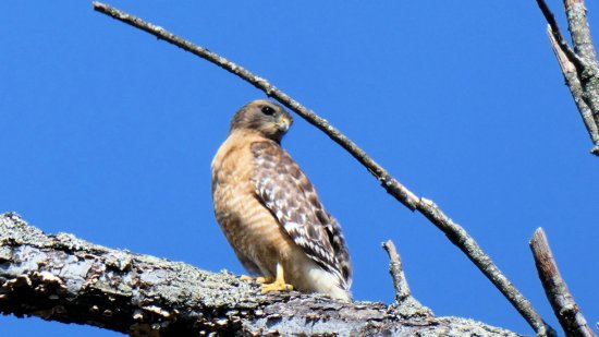 red tailed hawk 2