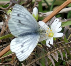 veined white