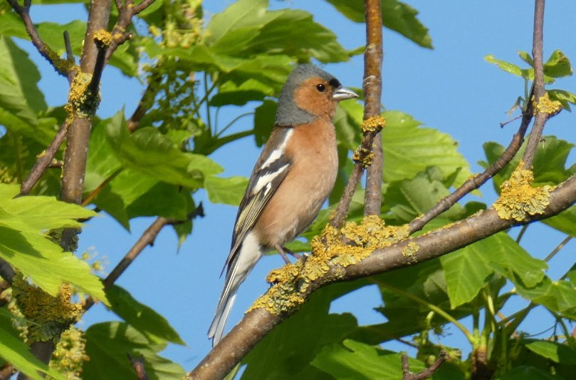 wirral chaffinch