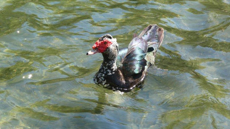 muscovy duck hermann park