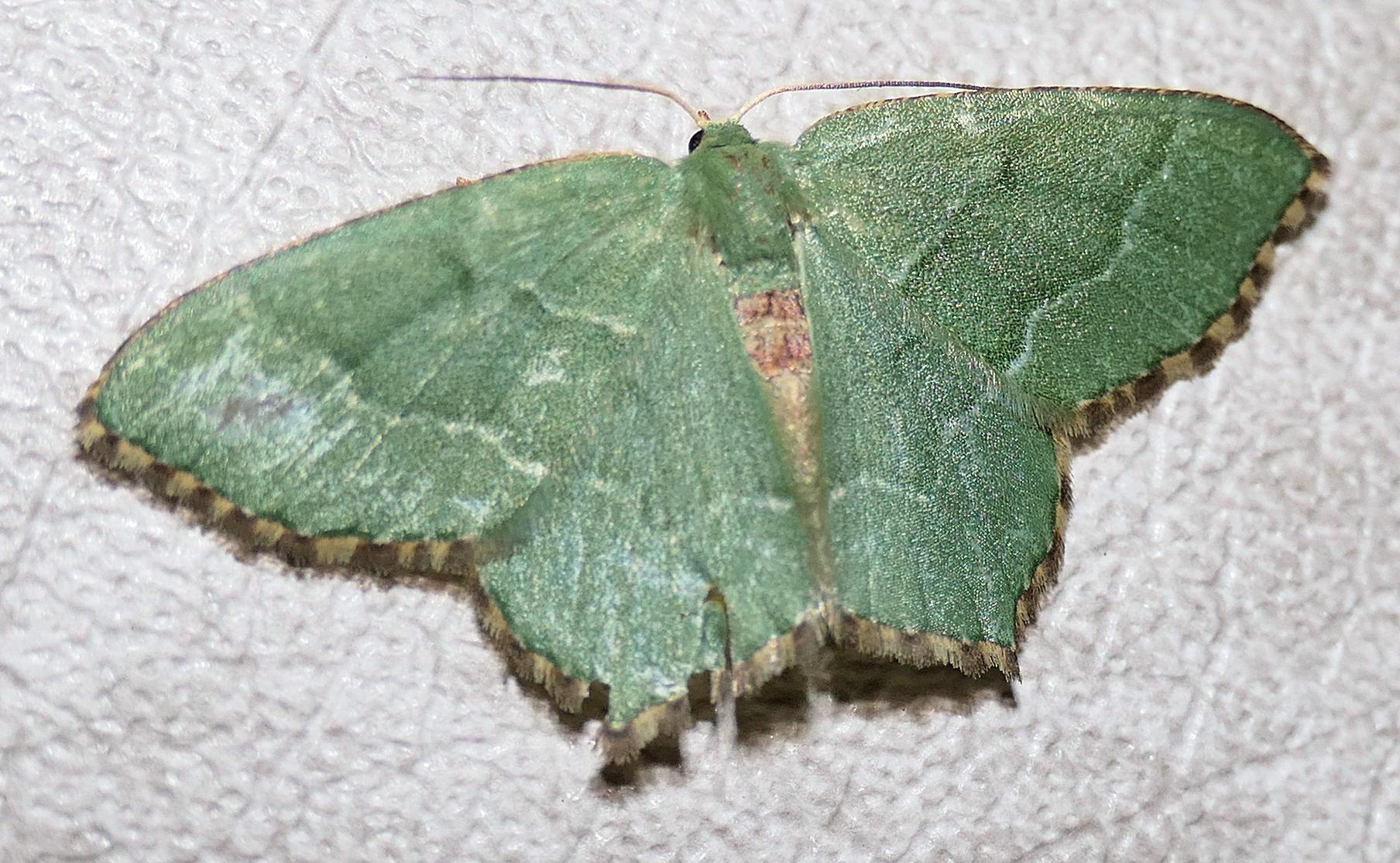 P1000068 emerald moth