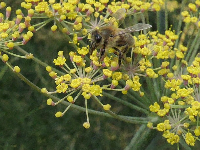 fennel bee