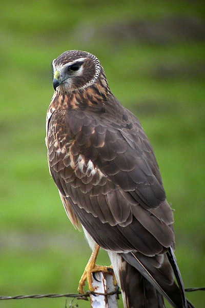 Northern_(Hen)_Harrier