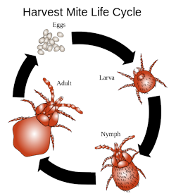 chigger life cycle