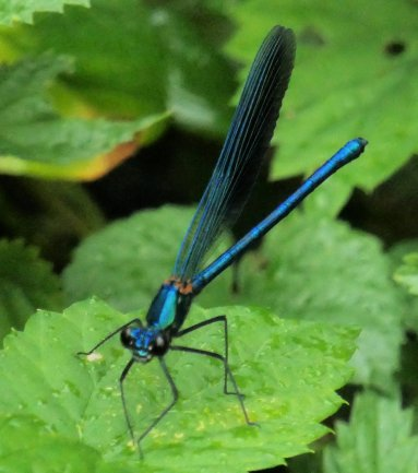 damselfly banded agrion