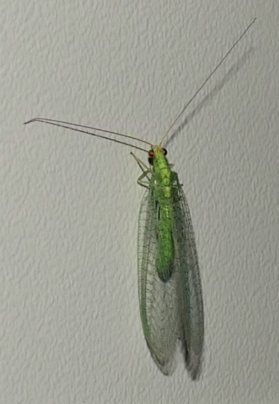 green lacewing (1)