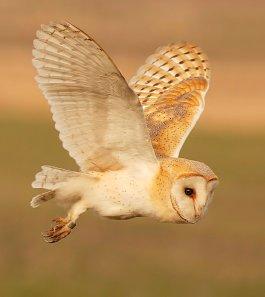 Barn_Owl_Fun