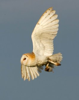 Barn_Owl_with_prey_Norfolk