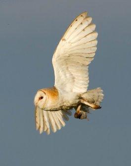 Barn_Owl_with_prey_Norfolk