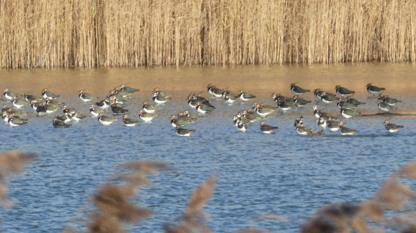 lapwings 2