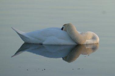 settling swan