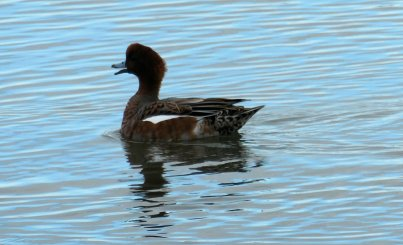 wigeon 2a