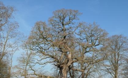 attingham oak