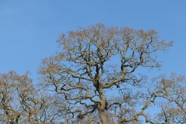 oak head